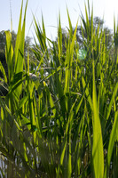 The long green reeds