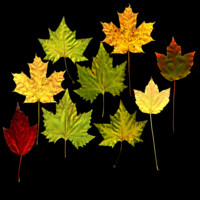 Assorted Maple Leaves