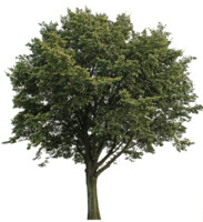Big_Tree_TS_01