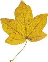 Autumn leaf Hi-Res