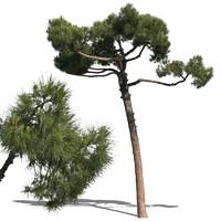 pine12