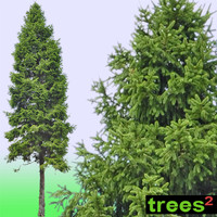 Fir (Abies) Tree