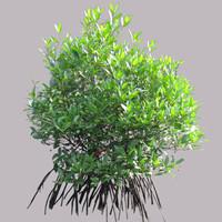 Rhizophora Apicluata