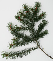 tree_branch_fir