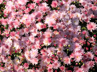 detail photography of pink autumn chrysanthemum flowers