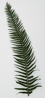 leaf_fern