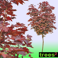 Maple Acer Rubrum