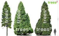 3 Conifer Trees