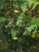 yew tree 1024