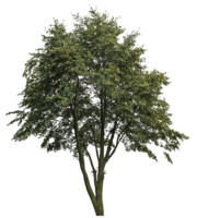 Big_Tree_TS_02