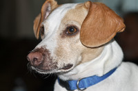 Brown & White Dog Blue Collar