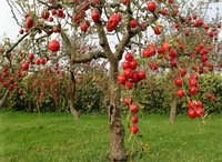 autumn-red-apples-nature-fruit-tree