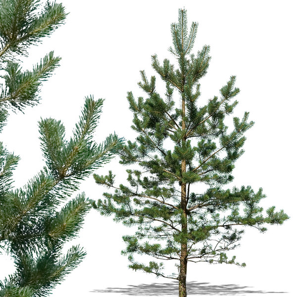 pine10