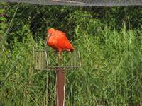 scarlet ibis2