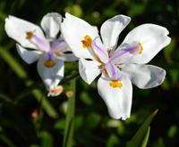 Dafadill flower