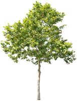Plane Tree 03