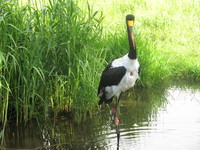 saddle-billed stork1
