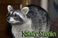 Stuffed Raccoon Close Up 5 MB