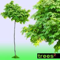 Maple Tree Acer Globosum