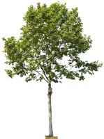Plane Tree 01
