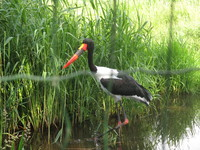 saddle-billed stork2