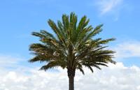 Palm tree2