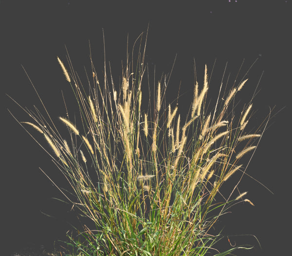 Texture other wild grass shrubs for Wild ornamental grasses