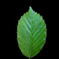 Beech Leaf 2 - 2048 x 2048