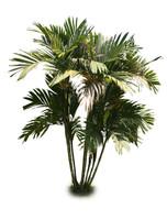 Areca vestiaria palm