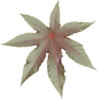 Castor plant leaf texture map