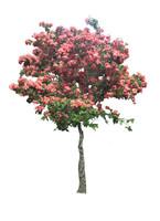 mussaenda pink flower