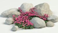 rockfoils saxifraga