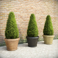 Fir Plants in Pots