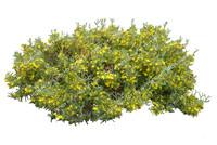 Herbertia racemosa