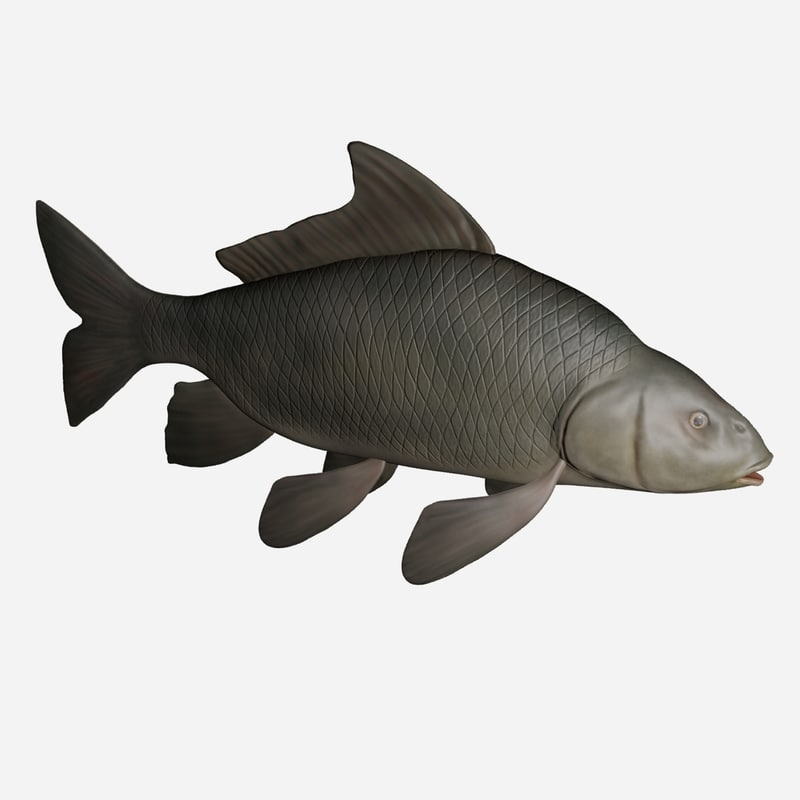 common carp fish 3d 3ds