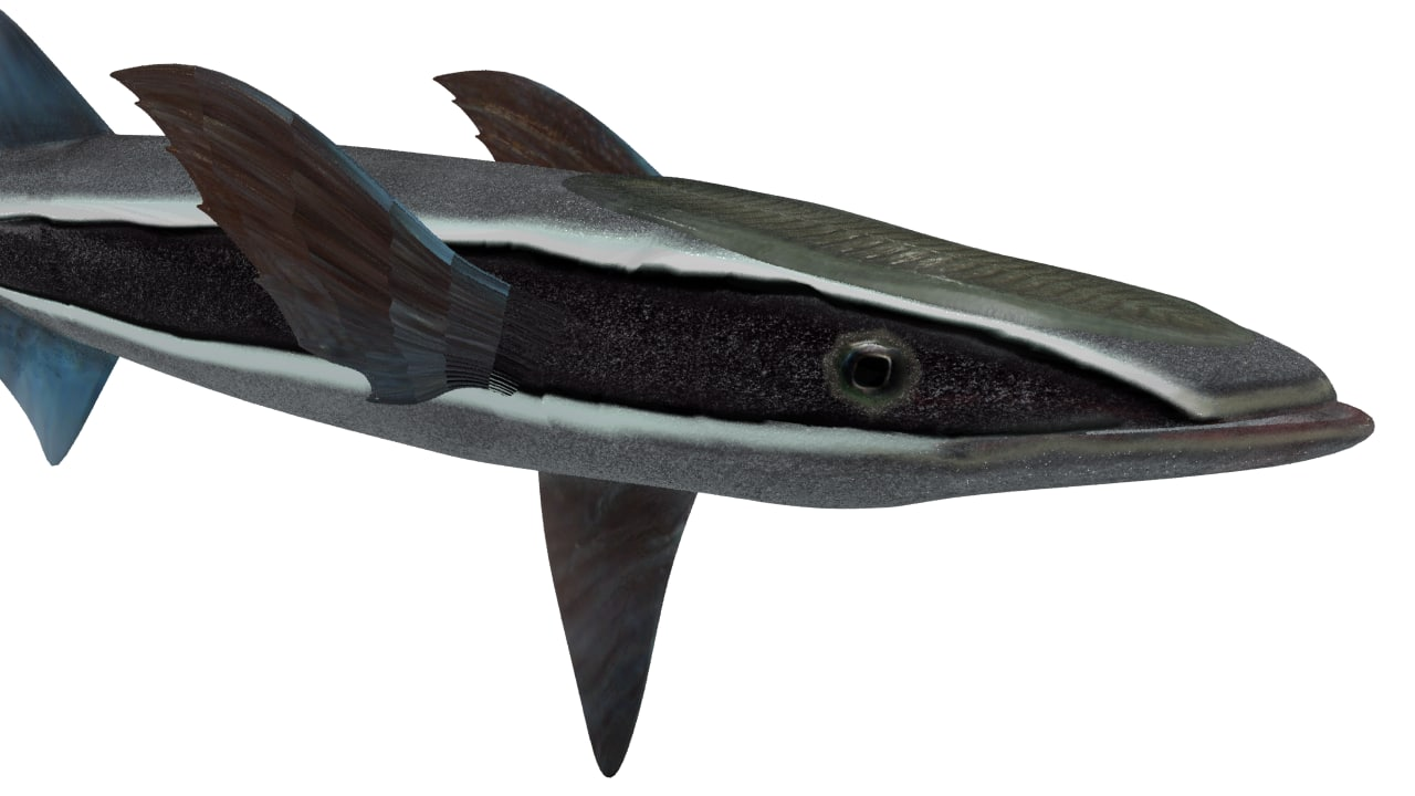 echeneis fish 3d model