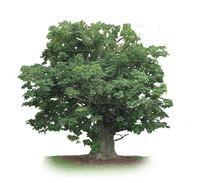 Adansonia Digtata