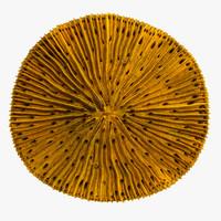 fungia coral 3d model
