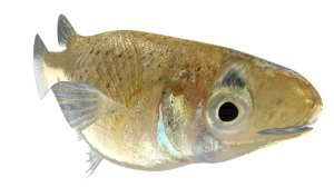 gambusia fish species 3d model