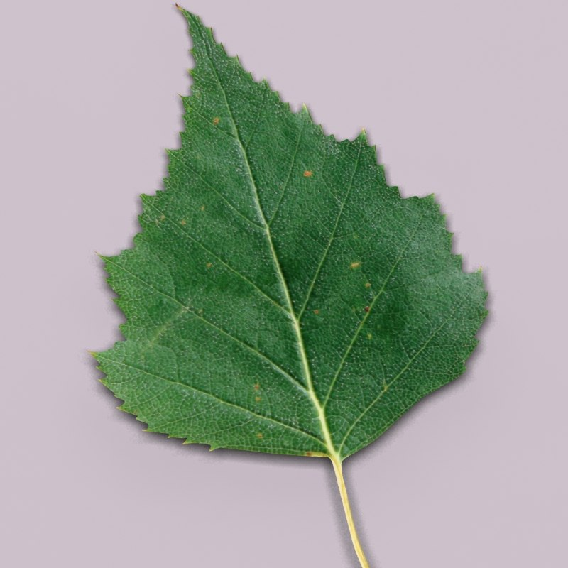 birch leaf young max