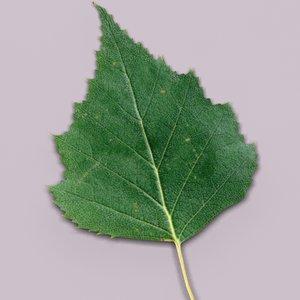 birch leaf young max