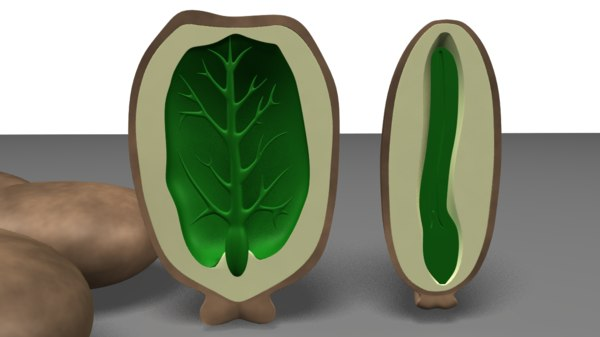 3d obj endosperm seeds
