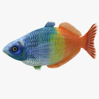 Tropical Fish Boesemani Rainbow