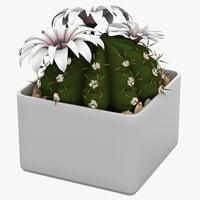 cactus gymnocalycium anisitsii 3d max