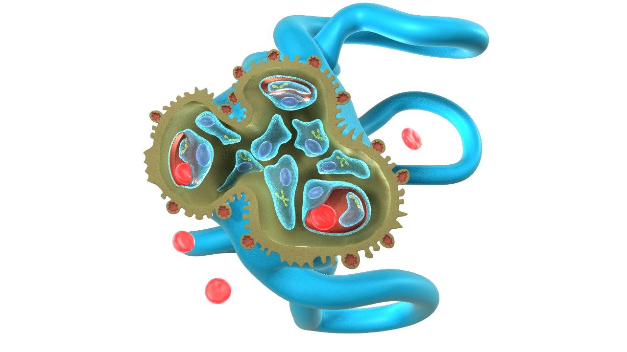 3d model glomerulus