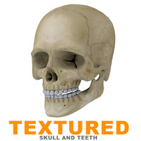 Human Skull Textured