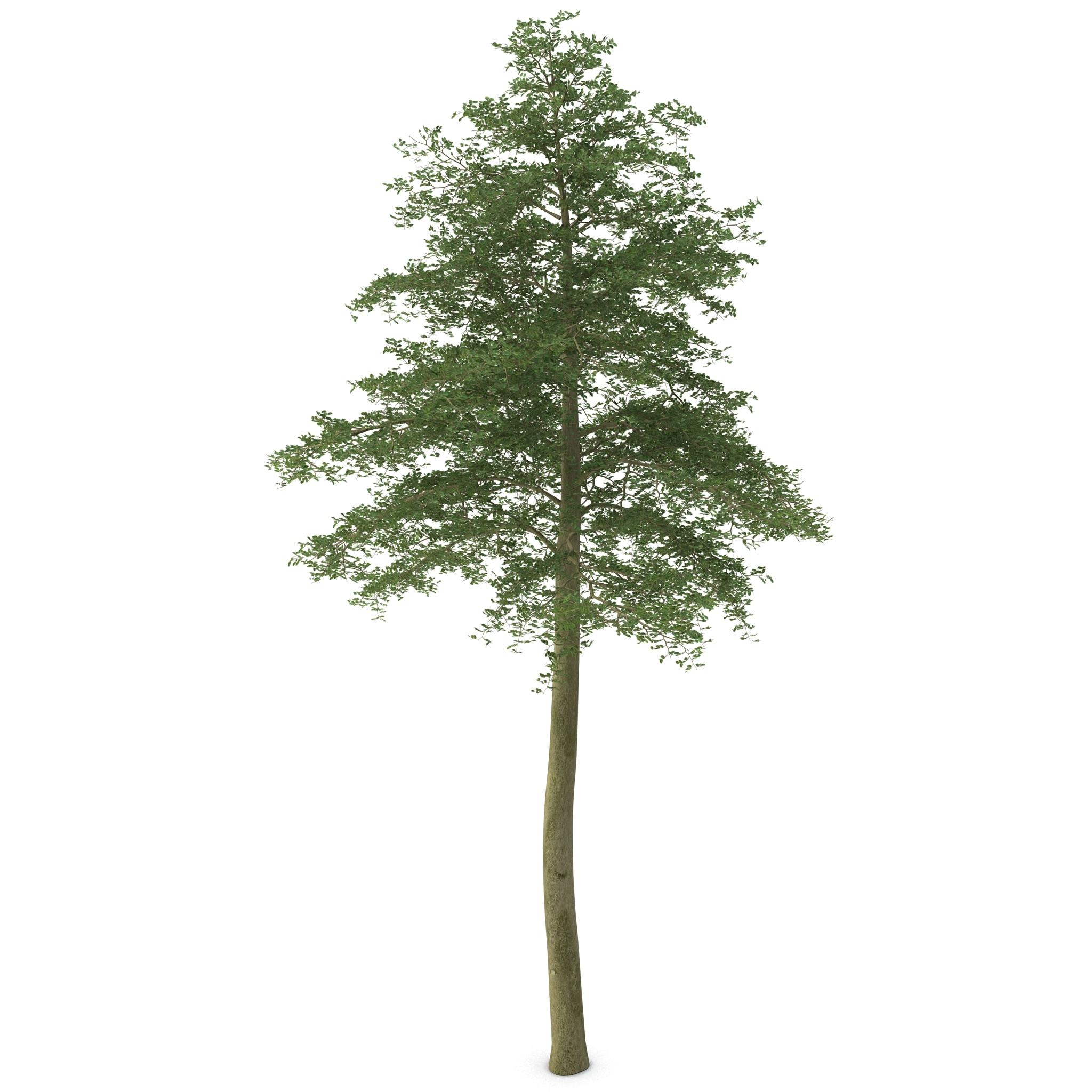 max hornbeam tree 2