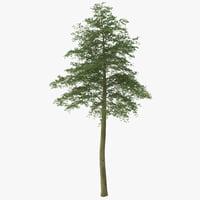 Hornbeam Tree 2