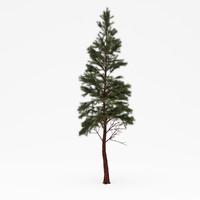 Conifer 015