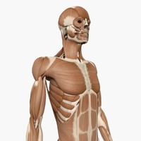 3d human muscle anatomy bones